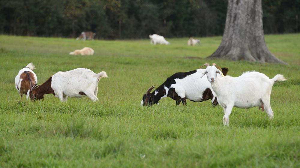 Goats grazing in a green field.