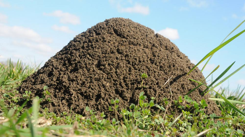 A large fire ant mound.