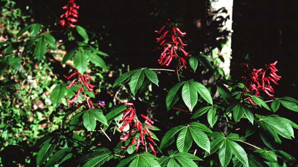This is an image of a Red Buckeye