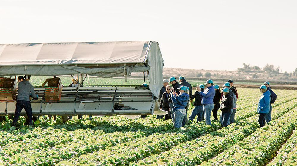 Group people harvesting lettuce in field.