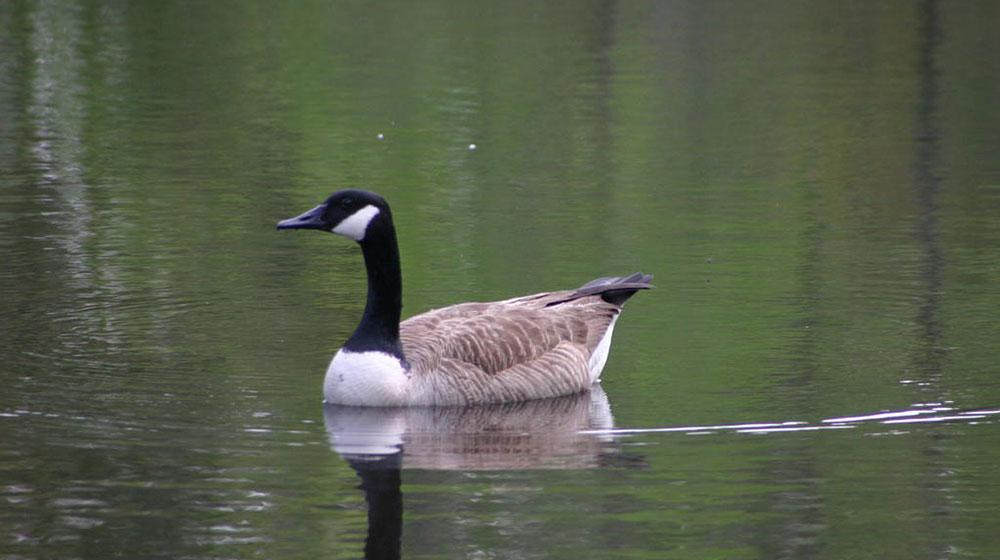 A Canadian Goose swims in a body of water.
