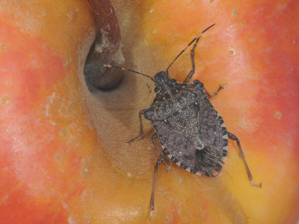 A brown marmorated stink bug with numerous small spots on its body and two white lines on its dark, brown antennae sits on top of a red and yellow apple.
