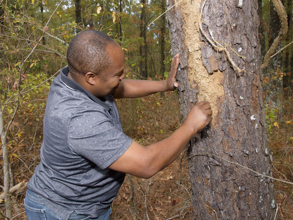 Man examining a pine tree for evidence of beetles