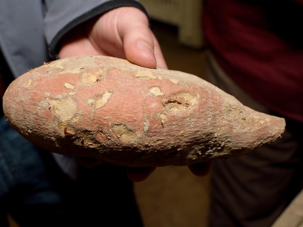 A sweet potato with a pink and brown outer surface is shown close up.