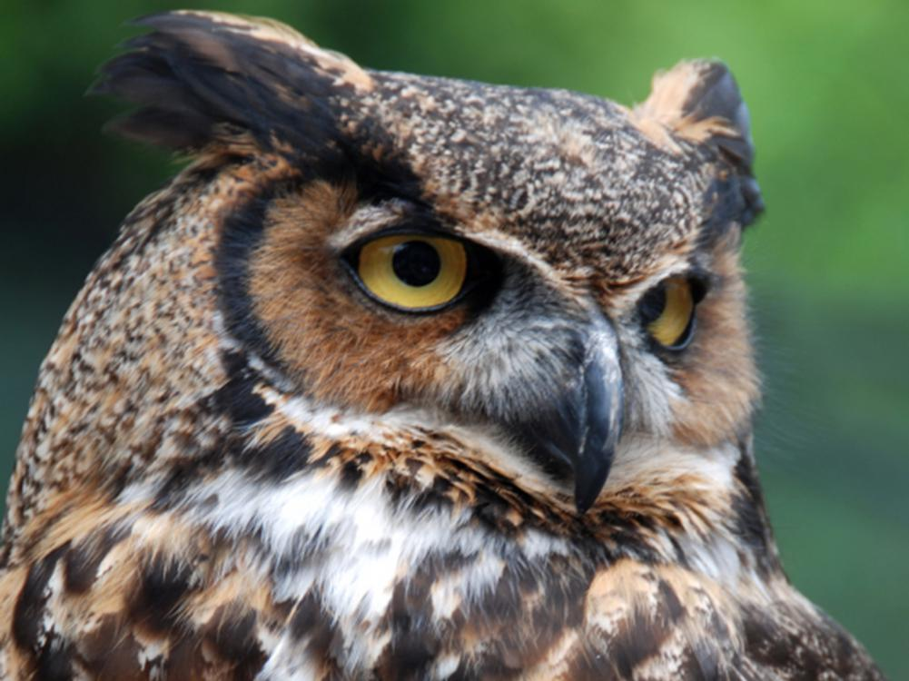 Close-up photo of a brown and white owl as it looks off to the right.