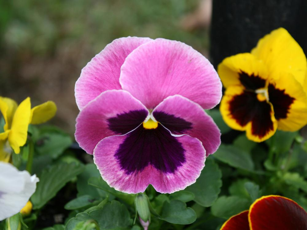 A close-up of a pink pansy with a dark maroon blotch in the center.