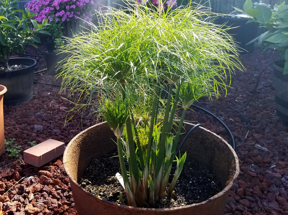 A short papyrus plant grows in a metal cauldron.