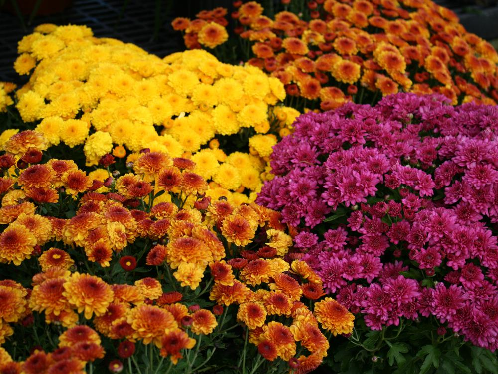 Two yellow and orange mums bloom on either side of a yellow mum and a purple mum.