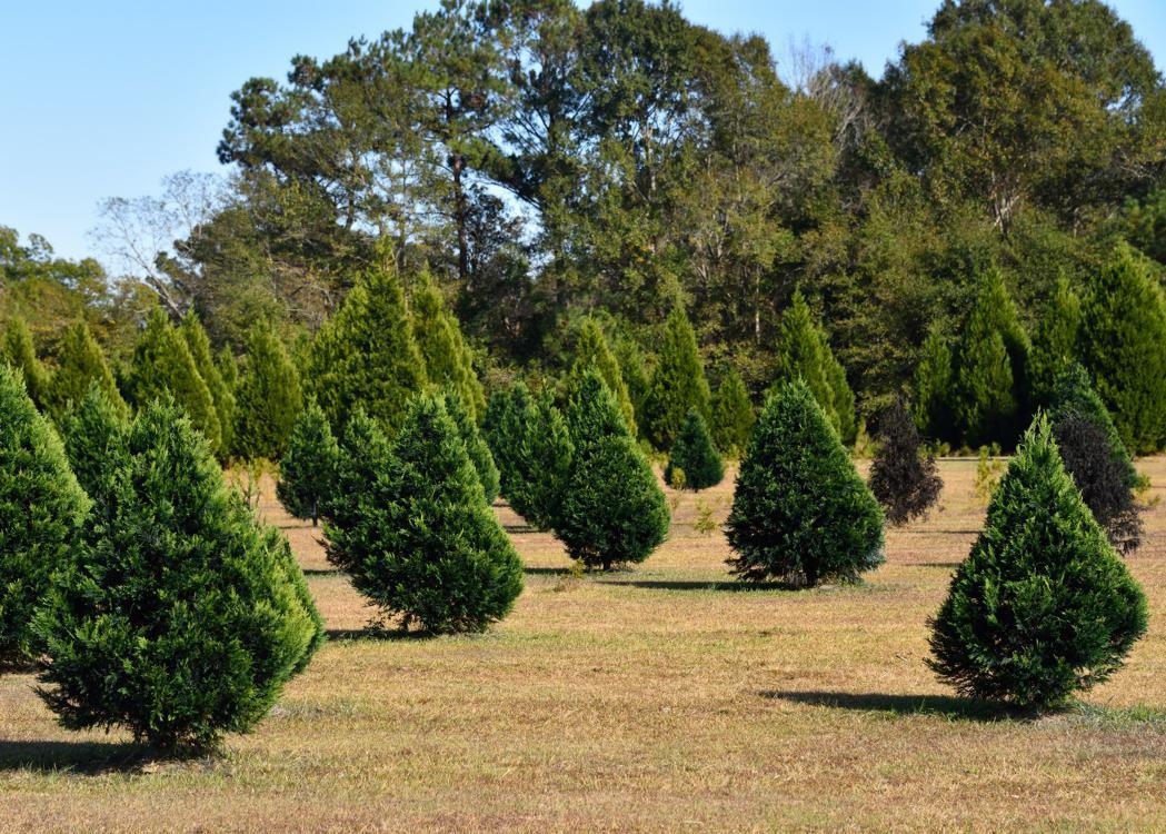 Green cypress tree rows in a field.
