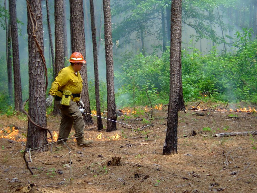 Man wearing hardhat and gloves walks across a stand of pine trees with a handheld torch pipe igniting pine straw on the ground. Background includes lines of low flames, greenery and smoke.