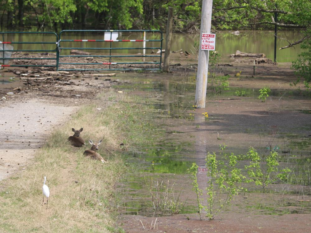 Two deer are lying down beside a remote road that ends at a closed farm gate with floodwater and debris floating beyond and around the area.