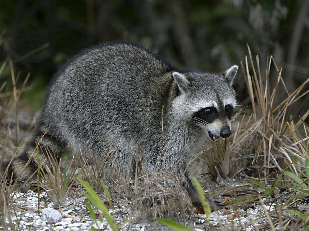 A raccoon with gray fur roaming in the woods.
