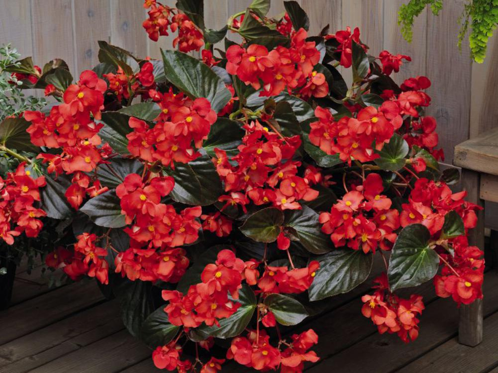 Large clusters of red flowers rise above bronze-colored leaves in a pot placed on a wooden deck with a wooden fence behind.