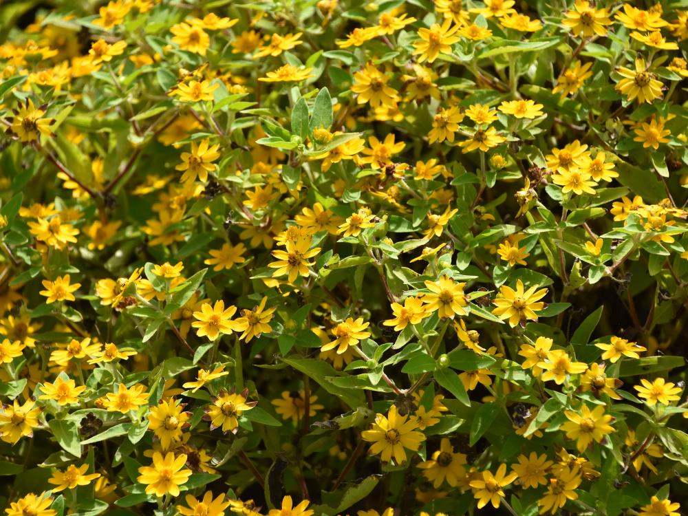 A bed of yellow flowers with green leaves.