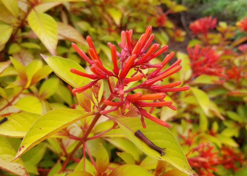 A round cluster of red, tubular flowers rises above a sea of lime green leaves.