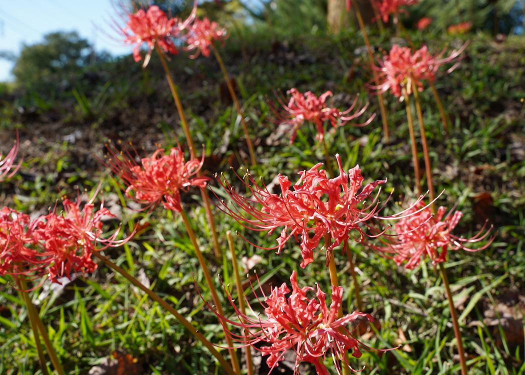 Several spidery, red blooms rise on slender stems above a grassy background.
