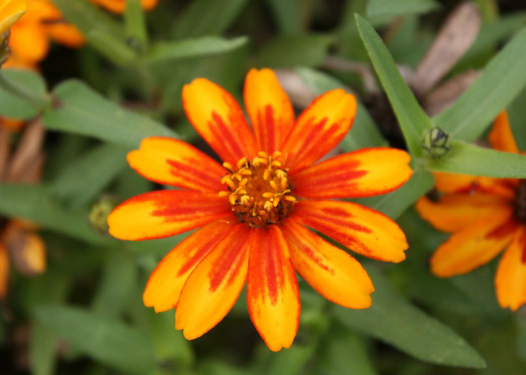 A single, orange bloom is open against a background of green.