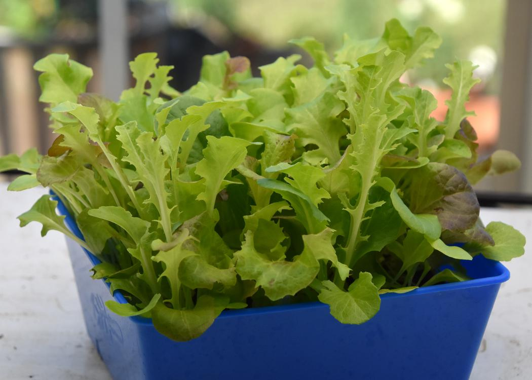 Small, leafy greens grow in a blue container.