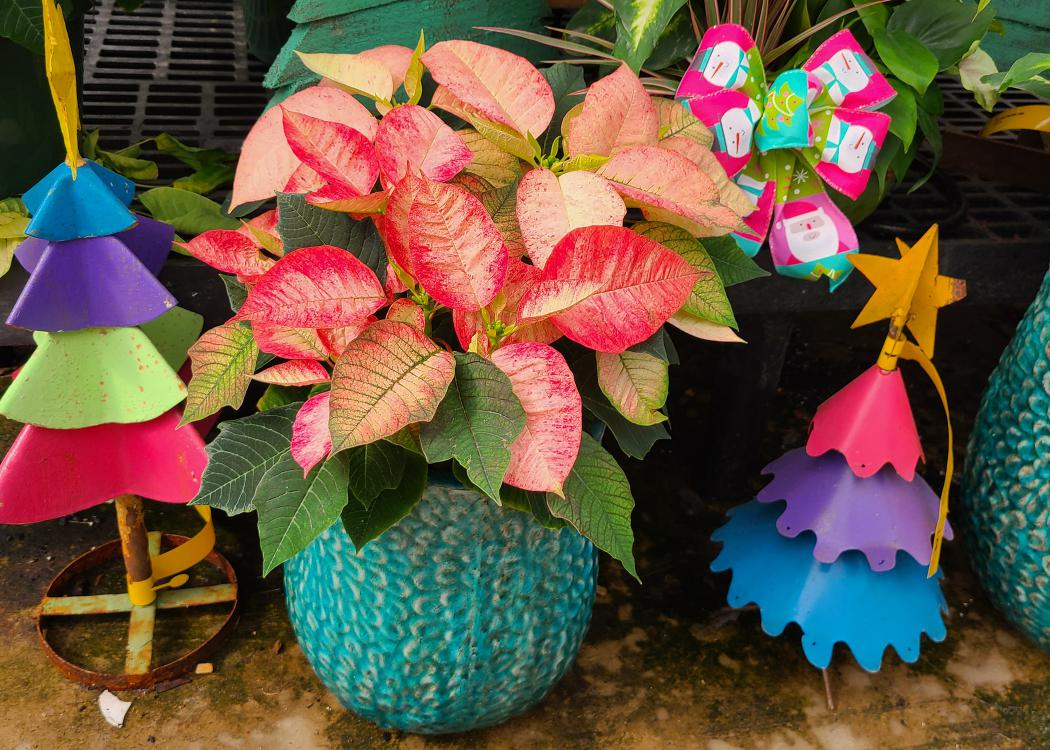 A pink and white poinsettia is surrounded by small, decorative Christmas trees.