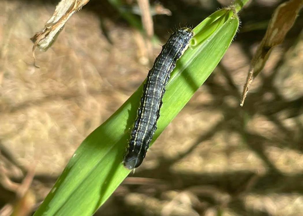 A single caterpillar rests on a blade of grass.