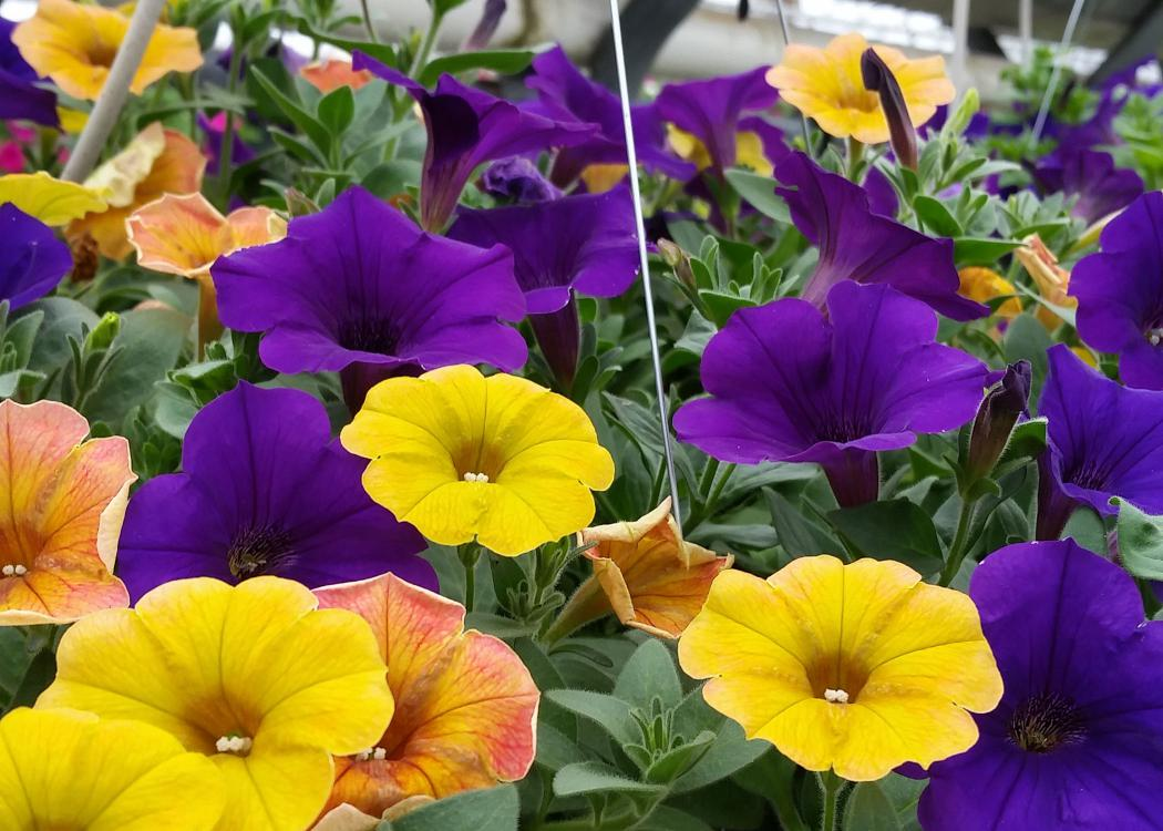 Yellow and purple flowers bloom from a green plant.