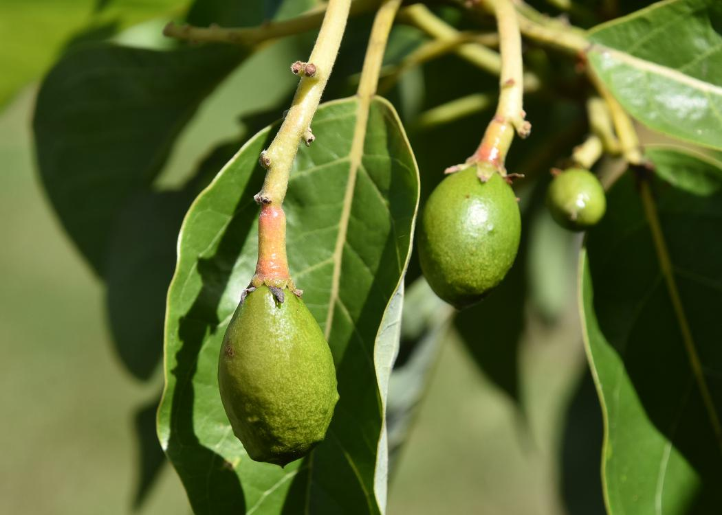 Smooth, green avocado fruit hang down on single stems.