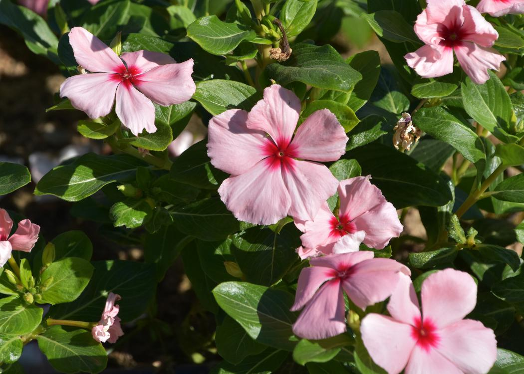 Pink flowers bloom on a green plant