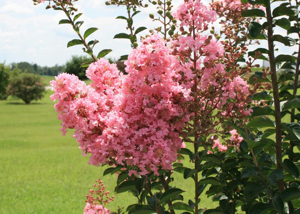 Small pink flower clusters bloom at the end of branches.
