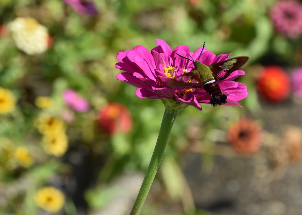 A moth feeds from a purple bloom.
