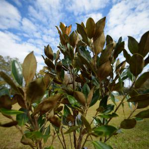Upturned magnolia leaves stretch to the blue sky speckled with white clouds.