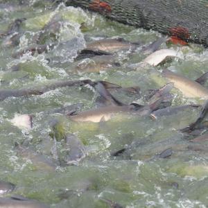 Catfish swimming atop the water.