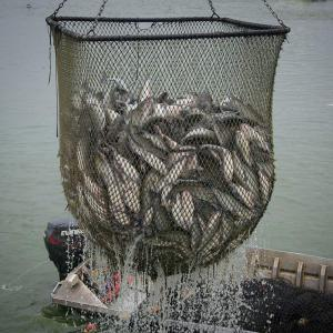 A dripping net filled with catfish.