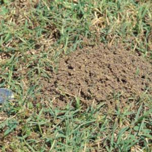 A fire ant mound that has just become visible above the grass.