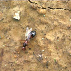 A young fire ant queen.