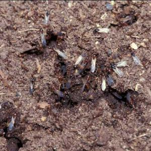 A swarm of black ants with white wings leaves the mound.