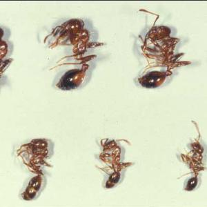 Seven different fire ant carcasses varying in size.
