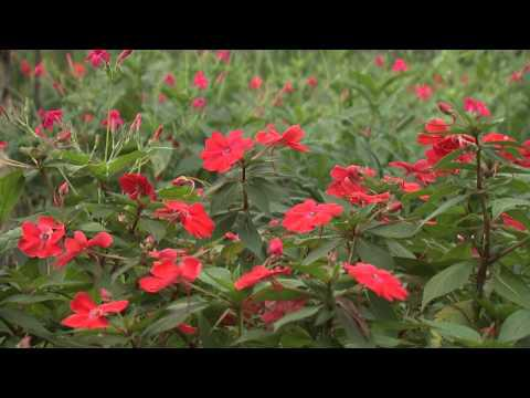 Late Red Flowers, Southern Gardening TV - December 19, 2012