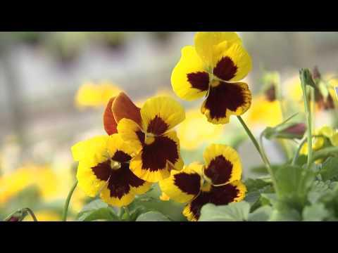 Pansy, Southern Gardening TV, November 7, 2012