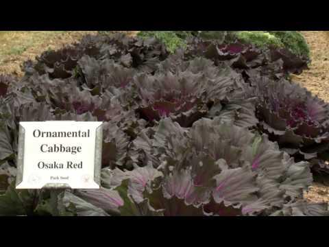 Ornamental Cabbage and Kale - Southern Gardening TV - December 18, 2013