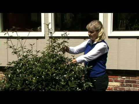 Pruning Broadleaf Evergreens - MSU Extension Service