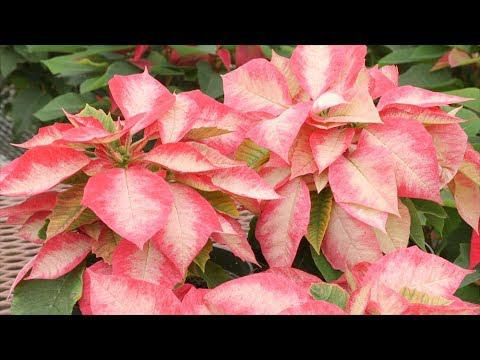 Colorful Poinsettia