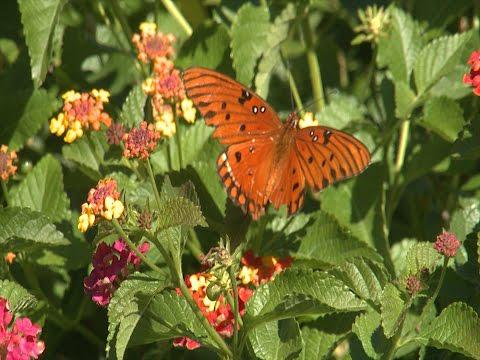 Butterflies and Pollinators