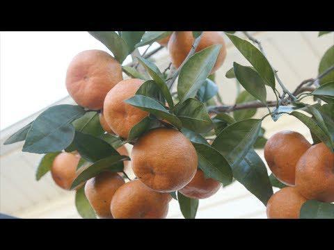 Mississippi Citrus