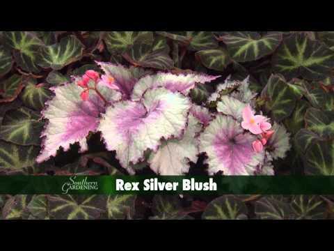 Holiday Rex Begonia - Southern Gardening - November 27, 2013