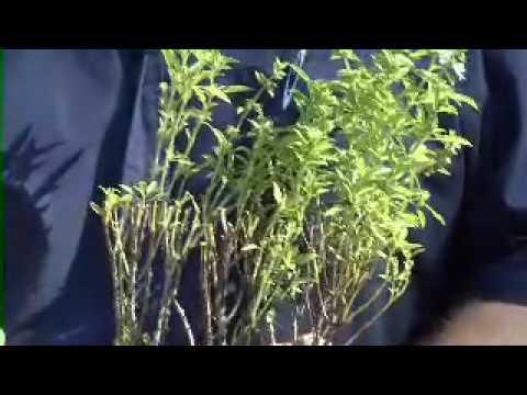 Propagating Herbs - MSU Extension Service