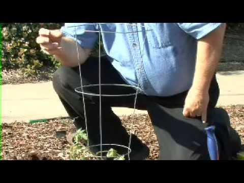 Tomato Tips  - MSU Extension Service