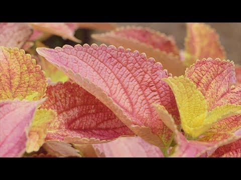 Copious Coleus Color