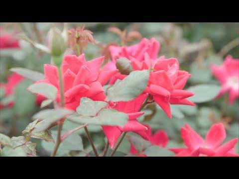 Easy Shrub Roses