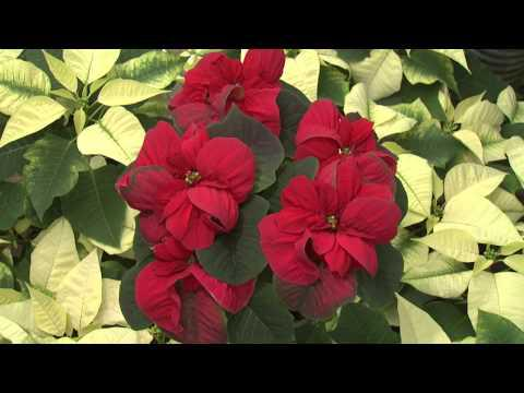 Colorful Poinsettias, Southern Gardening TV - December 5, 2012
