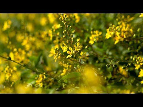 Golden Thryallis